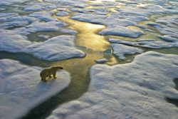Pollar bear and melting ice